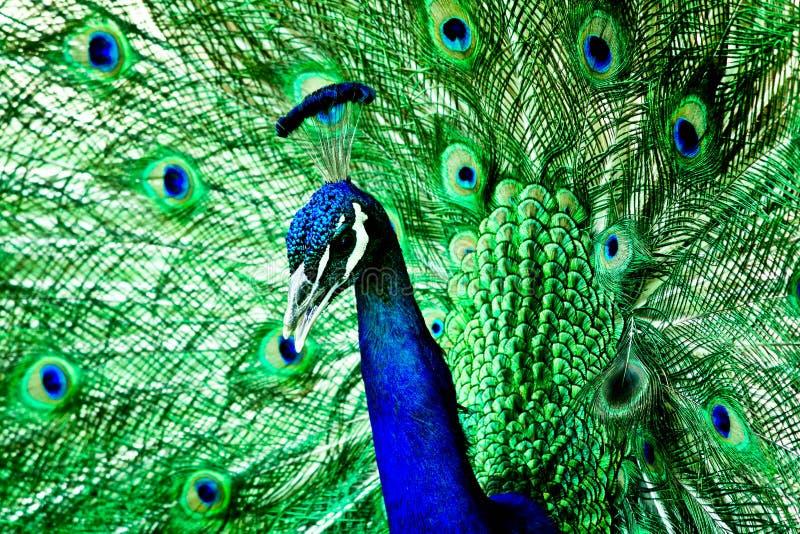 蓝绿色孔雀 库存图片