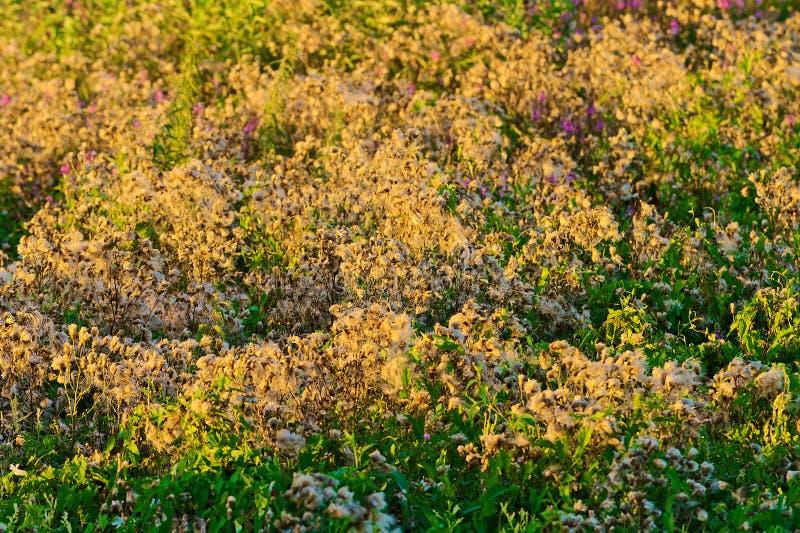 蓟开花流洒它的在草甸的开花种子,照亮通过平衡太阳 库存照片