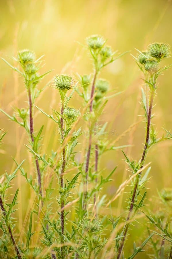 蓟,有一朵圆的花的一棵多刺的植物在清洁 免版税库存图片