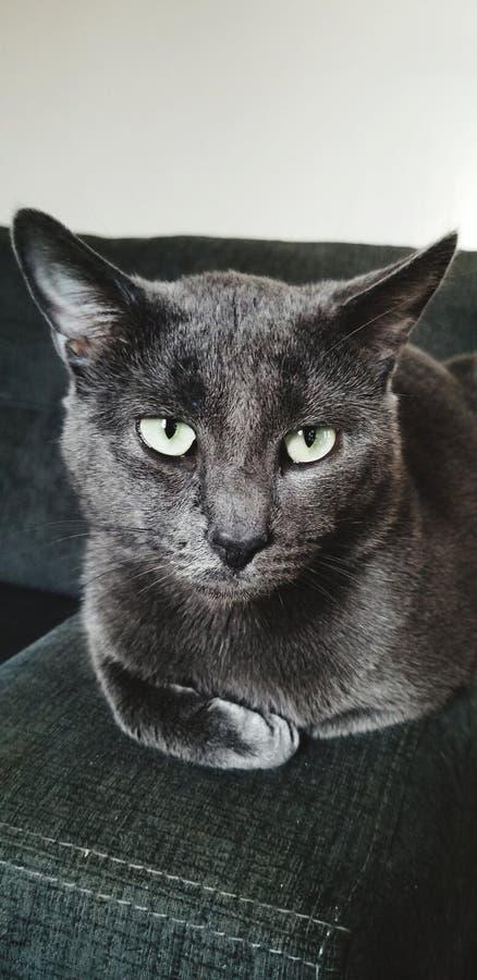 蓬松全部赌注猫休息 库存照片