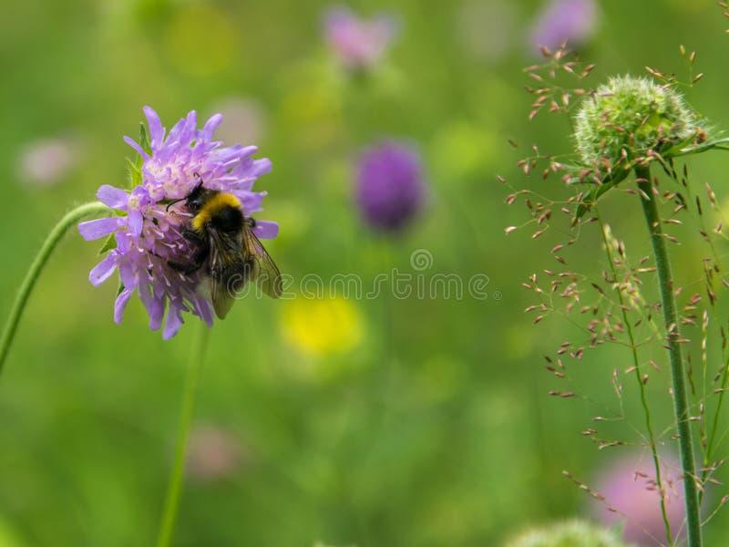 蓬松土蜂从花knautia arvensis收集花蜜 图库摄影