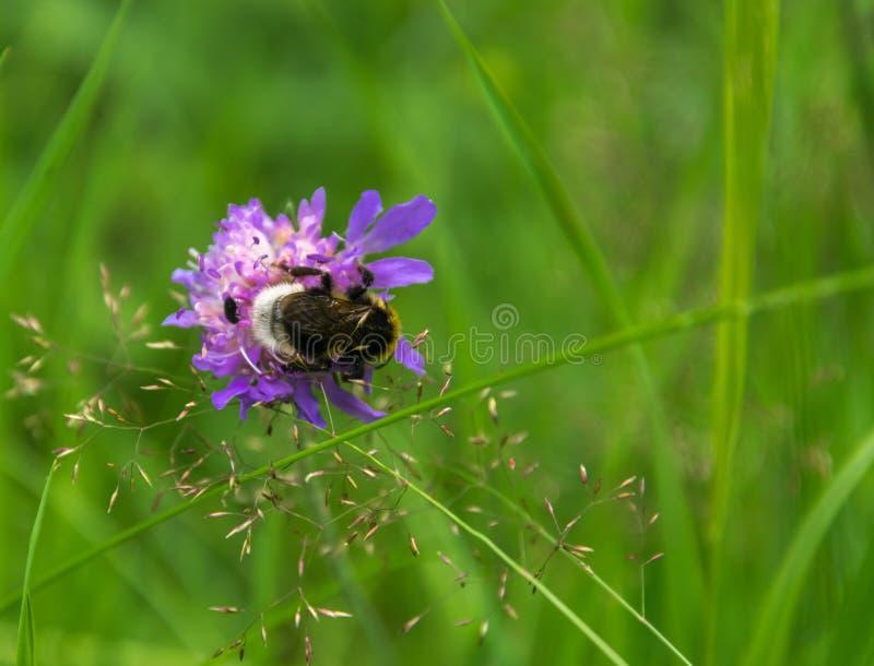 蓬松土蜂从花knautia arvensis收集花蜜 免版税库存图片