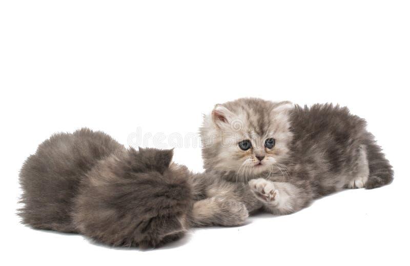 蓬松小猫 库存图片