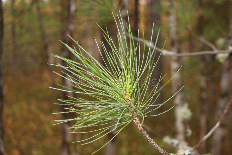 蓬松杉木小树枝 免版税库存照片