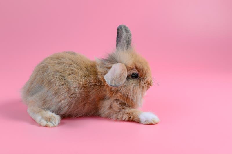 蓬松棕色兔宝宝坐干净的桃红色背景,小的兔子 免版税库存图片