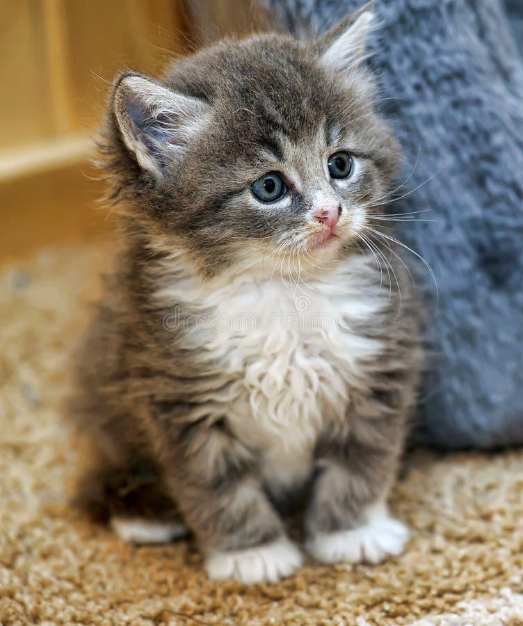蓬松灰色和白色小猫 免版税库存照片