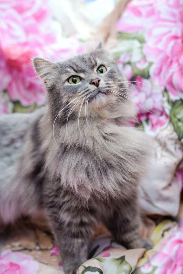 蓬松灰色猫在家 免版税图库摄影