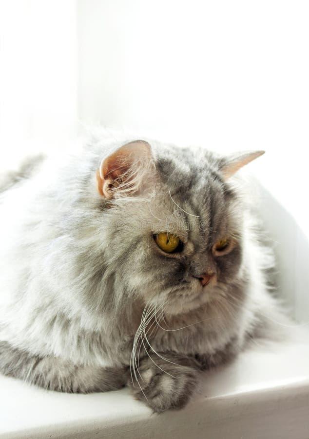 在窗口的哀伤的猫 蓬松灰色猫在阳光下 免版税库存照片