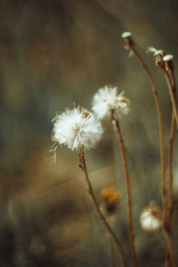 蓬松白花秋天蒲公英,在黄绿色被弄脏的背景的秋天hawkbit r 白色绒毛 免版税库存照片