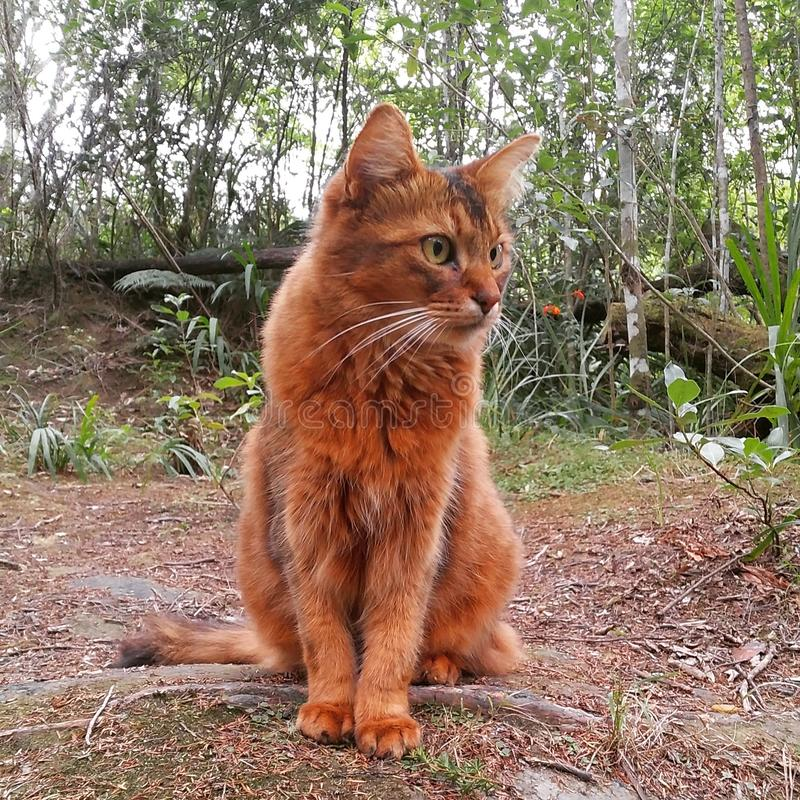 蓬松红色猫 库存照片