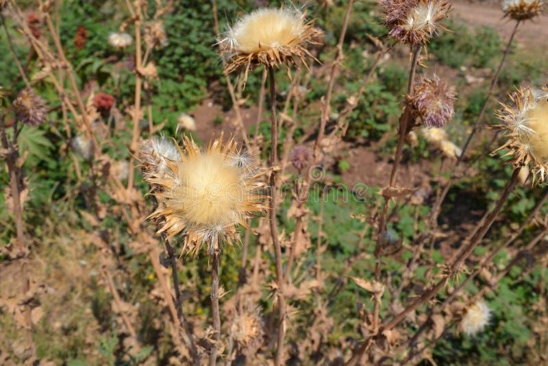 蓬松花干燥棘手的植物 r 图库摄影