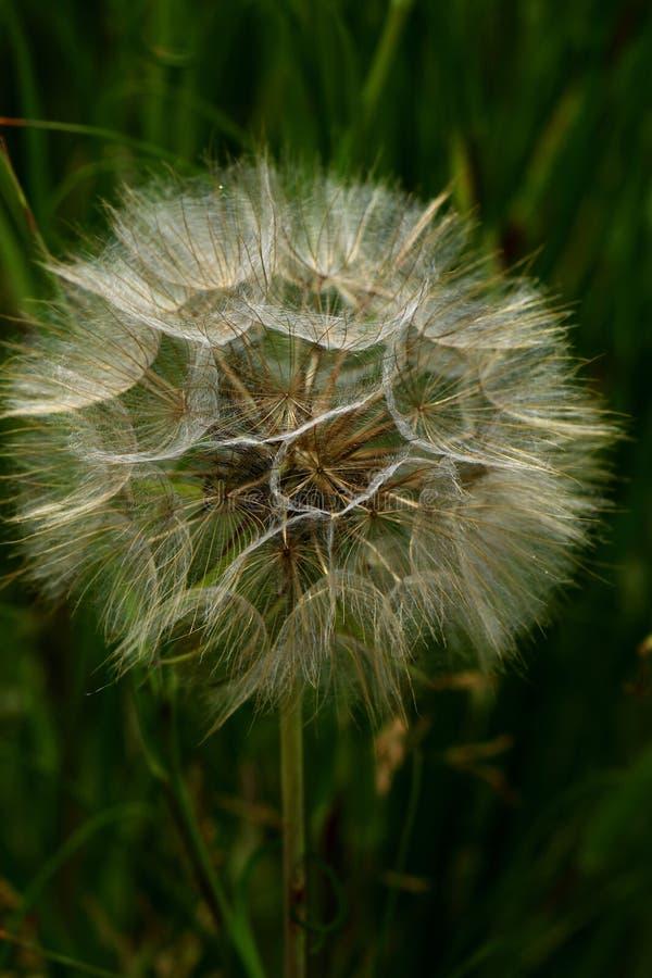 蓬松蒲公英在6月,夏天模板设计有绿草背景 免版税图库摄影