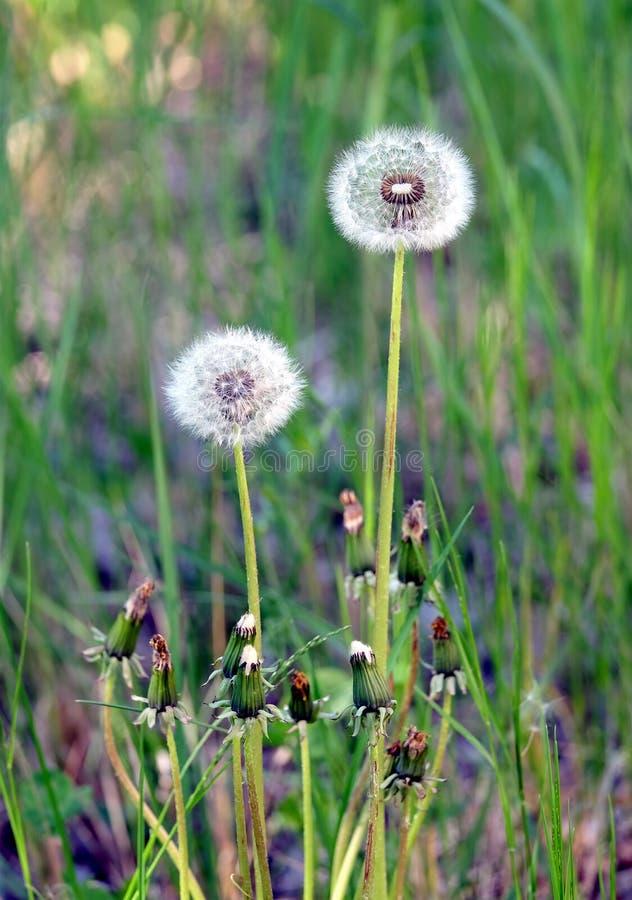 蓬松蒲公英开花与在一个绿草领域的成熟种子作为背景在夏天晴天 库存图片