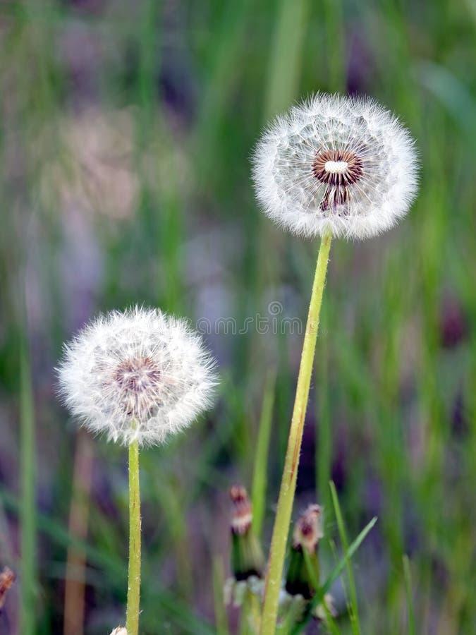 蓬松蒲公英开花与在一个绿草领域的成熟种子作为背景在夏天晴天 库存照片