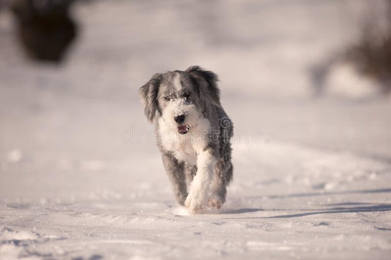 蓬松跑在雪的狗有胡子的大牧羊犬 库存图片