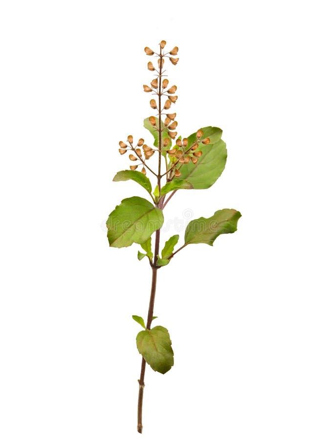蓬蒿圣洁查出的小树枝tulsi 库存图片