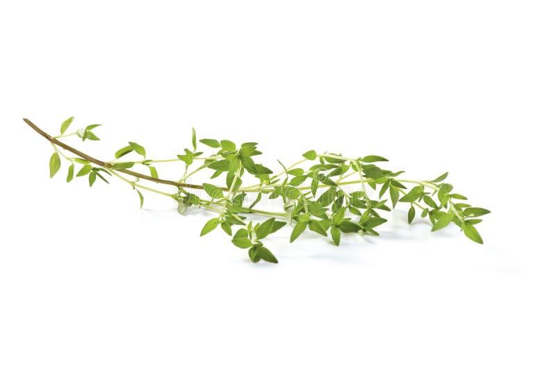 蓬蒿新鲜的枝杈 免版税库存照片