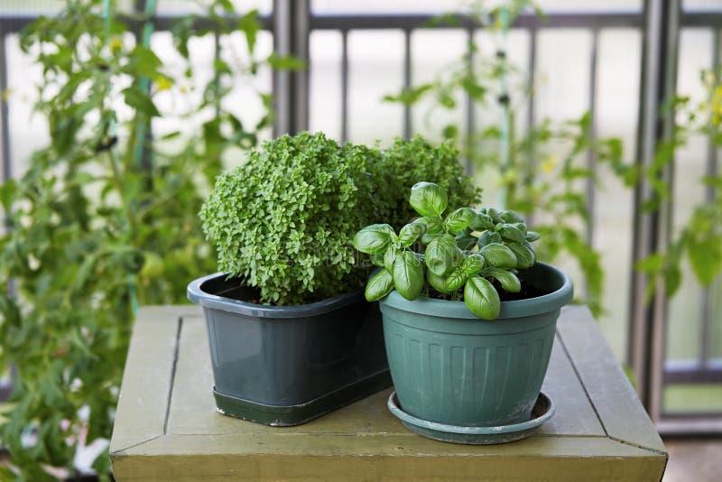 蓬蒿生长在罐的草本植物 库存图片
