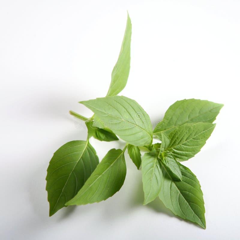 蓬蒿basilicum罗勒属甜点 免版税库存照片