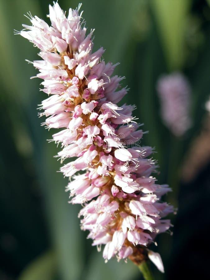 蓼属植物 库存图片