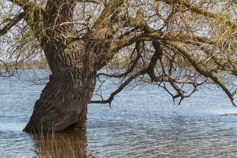 蔓延的宽多枝树 巨大的白扬树的厚实的树干在水中在春天堆河期间 库存图片