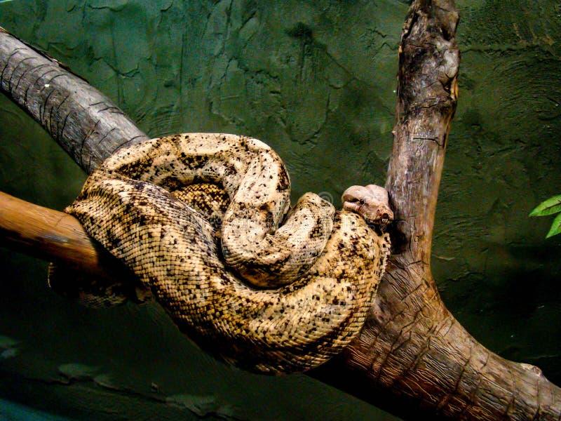 蔓藤花纹哥伦比亚人红盯梢了蟒蛇Python大蟒蛇缩窄器 库存图片