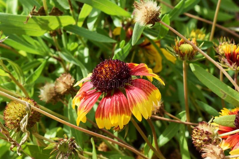 蔓越桔享用太阳的色的独特的花 库存图片