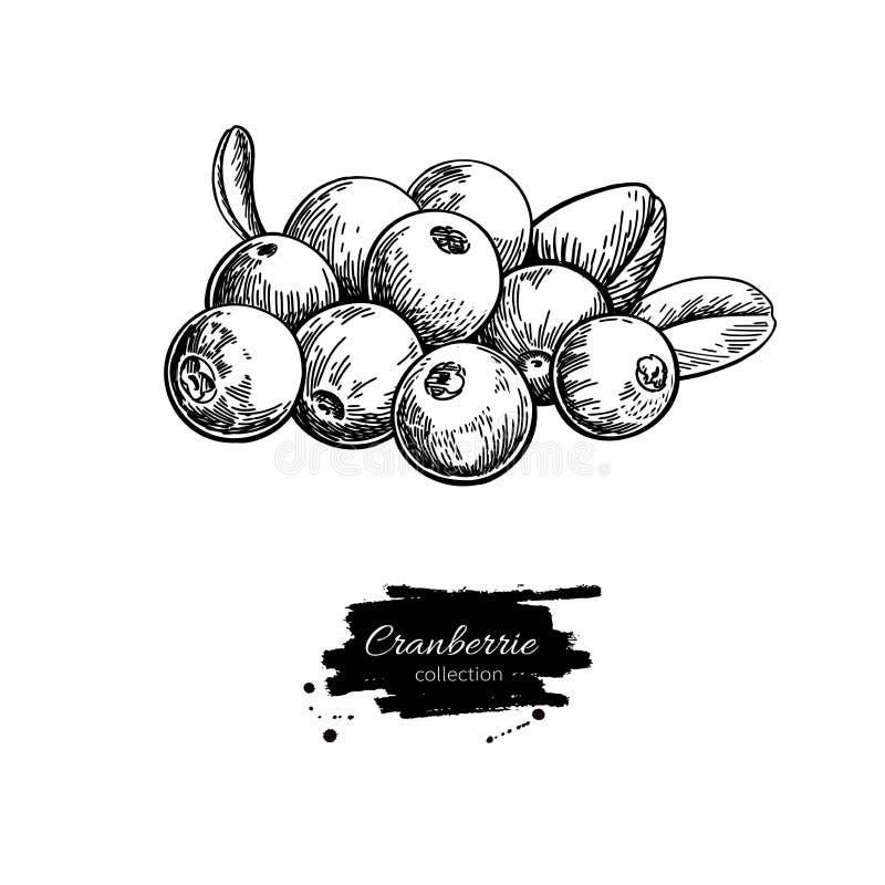 蔓越桔传染媒介图画 在白色ba的被隔绝的莓果堆剪影 向量例证