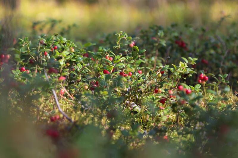 蔓越桔沼地在森林里 免版税库存照片