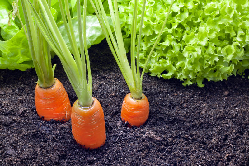 蔬菜栽培在庭院里 免版税库存图片