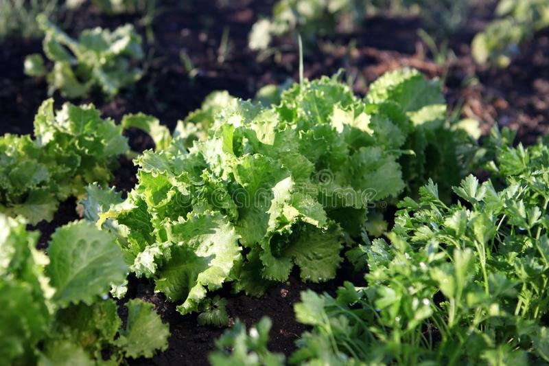 蔬菜沙拉增长 免版税库存照片