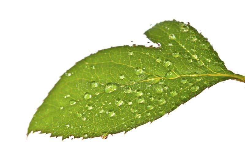 绿蔷薇叶子 免版税图库摄影