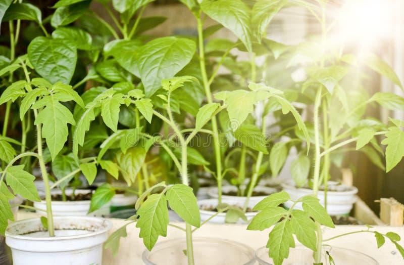 蕃茄和胡椒幼木在太阳光芒在各自的罐在种植在地面前 库存照片