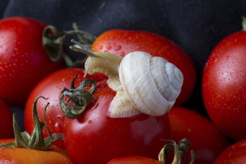 蕃茄和蜗牛 免版税库存照片