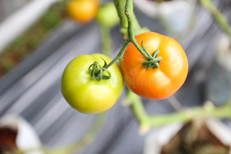 蕃茄在有机农场 库存图片