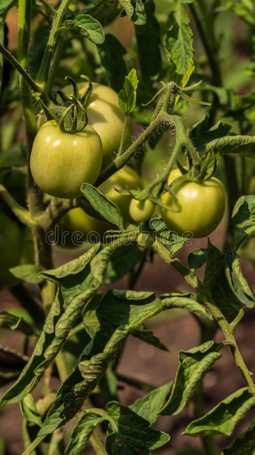 蕃茄在灌木增长在庭院里 免版税库存照片