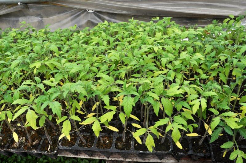 蕃茄增长的幼木在塑料罐和卡式磁带的 免版税图库摄影