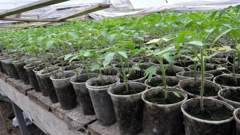 蕃茄增长的幼木在塑料罐和卡式磁带的 图库摄影