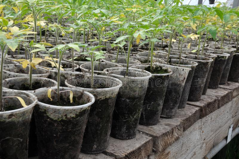 蕃茄增长的幼木在塑料罐和卡式磁带的 库存图片