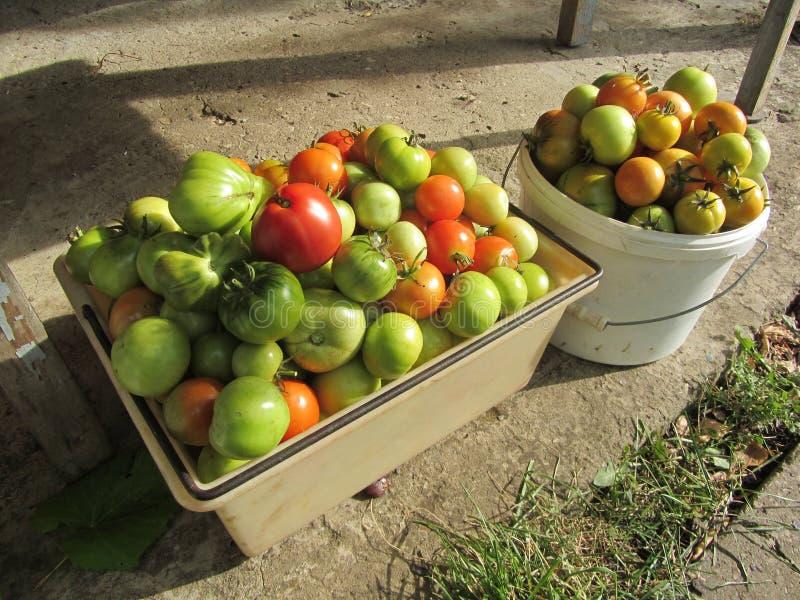 蕃茄富有的收获用您自己的手 库存图片