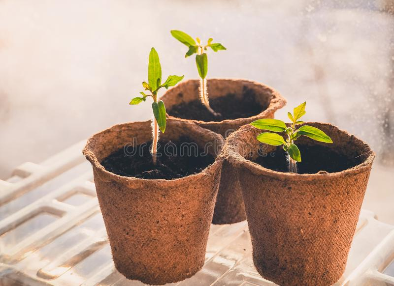 蕃茄幼木在泥煤罐的 菜农业 库存照片