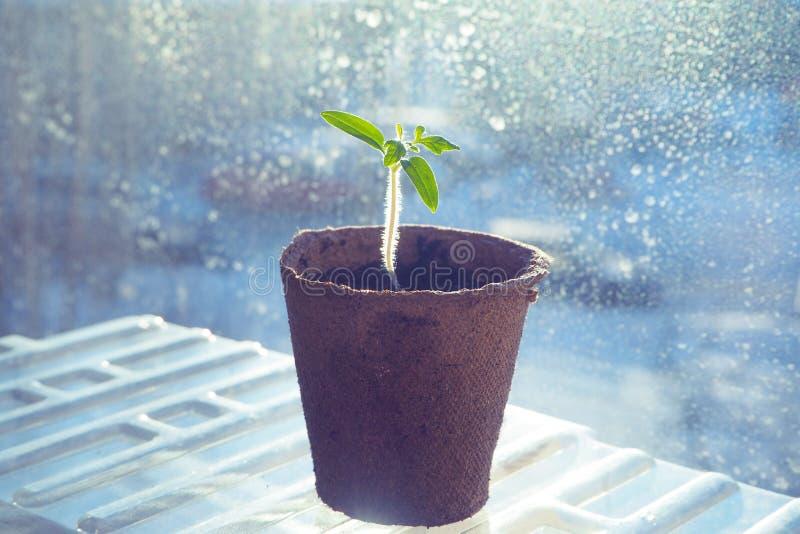 蕃茄幼木在泥煤罐的 菜农业 库存图片