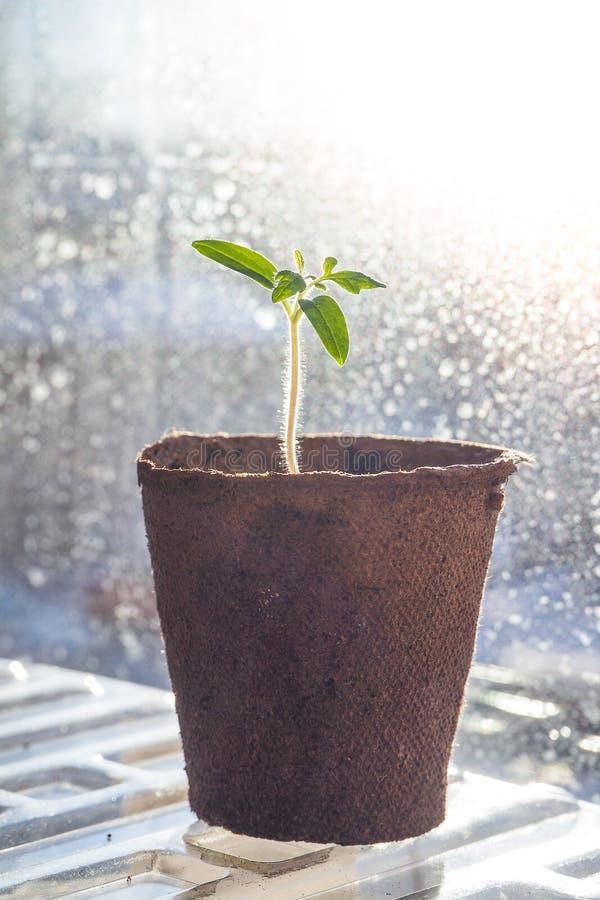 蕃茄幼木在泥煤罐的 菜农业 图库摄影