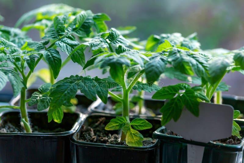 蕃茄幼木在窗口基石长大 免版税库存照片