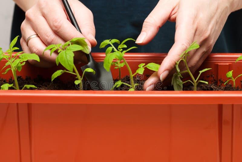 蕃茄幼木在罐的 库存图片