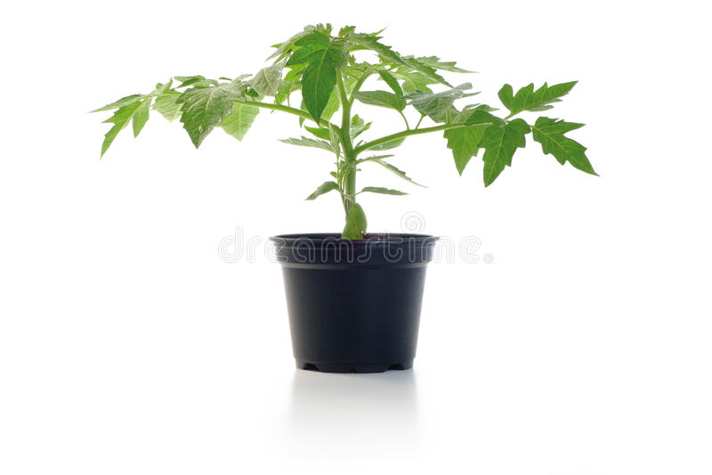 蕃茄幼木盆的厂 免版税库存照片