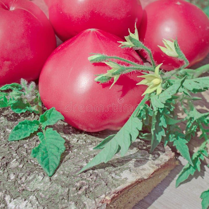 蕃茄桃红色菜  库存照片