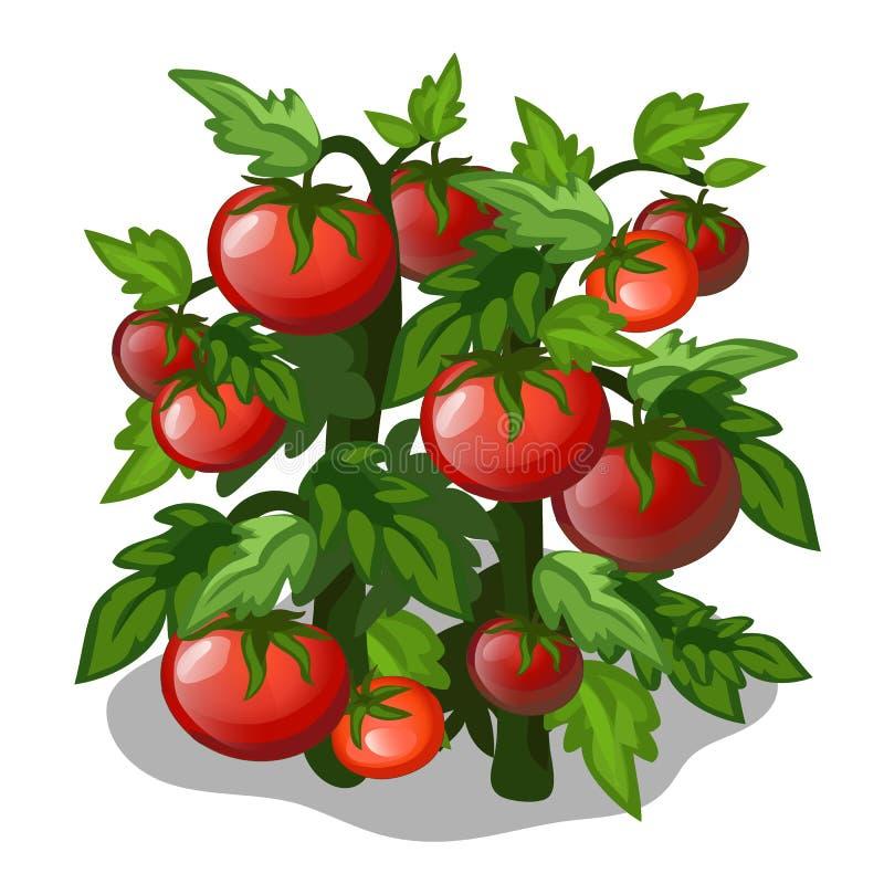 蕃茄的种植和耕种 向量 向量例证