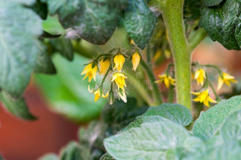 蕃茄绽放宏指令细节 生长植物黄色开花  庭院菜在春天 库存图片