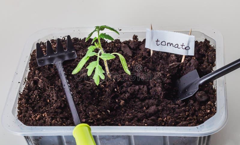 蕃茄美丽的小绿色幼木在棕色土壤的与一个白色标志和黑园艺工具铁锹和犁耙 免版税库存照片